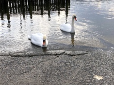 The swans the toddlers fell in love with!